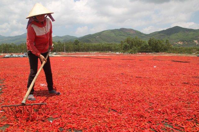Nông dân Phù Mỹ phơi ớt với hi vọng sẽ bán ớt khô vớt vát Ảnh: Công Vĩnh