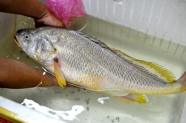 Con cá được cho là cá sủ vàng mà anh Quân câu được trên sông Đồng Nai vào chiều 17/4.