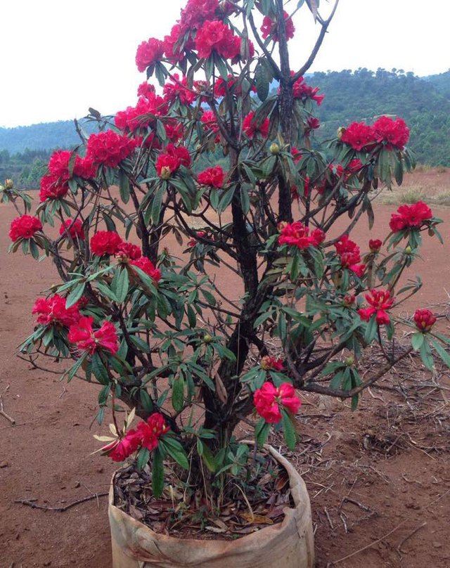 Đỗ quyên sai hoa, hoa lâu tàn, được nhiều người tìm mua vì là biểu trưng cho sự thịnh vượng