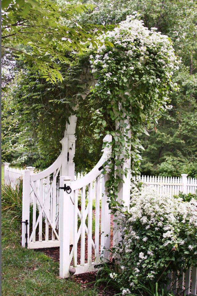 2. Trồng hoa leo trước cổng hay dọc theo hàng rào cũng là gợi ý tuyệt vời thổi hồn sức sống cho khu vườn quen thuộc.