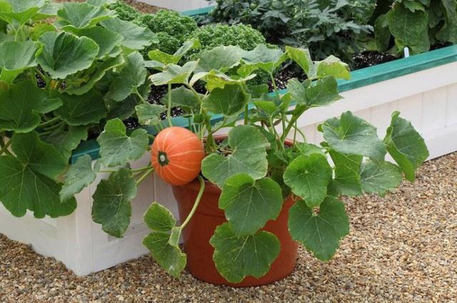 Bạn có thể trồng bí ngô từ hạt hoặc mua cây giống từ vườn ươm.