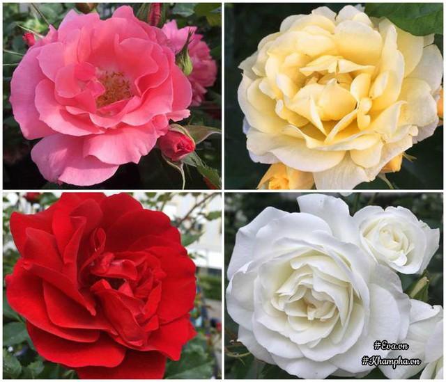 Chị Hà trồng các loại hoa như ông lão, thu hải đường, cúc, đồng tiền, hoa báo xuân, mai vàng của Tây, hoa tuyết, cúc Nhật, đào phai, đào cánh kép của Nhật, Tuylips, hoa lồng đèn, 10 loại hoa hồng khác nhau,…