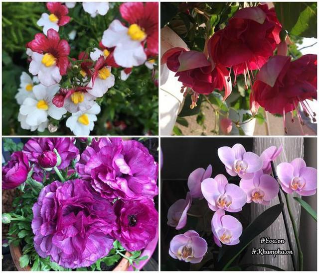 Mặc dù diện tích nhỏ nhưng cách sắp xếp để cho cây nào cũng đón được nắng của chị khiến cho cây ra hoa đều.