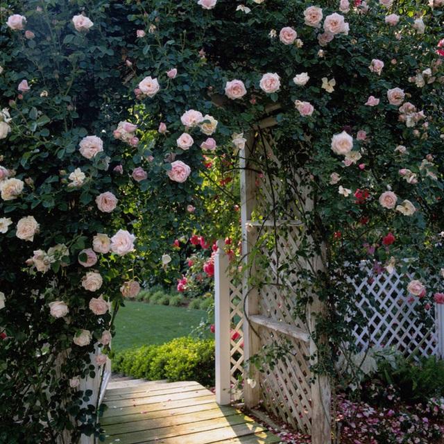 15. Giàn hồng leo trước cổng đẹp ấn tượng với màu sắc bắt mắt nở rực rỡ trong mùa hè tạo điểm nhấn sinh động cho khoảng sân vườn.