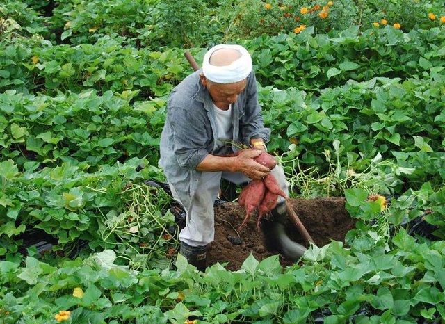 Loại khoai lang giống Nhật này được trồng khá nhiều tại Việt Nam, đặc biệt là ở Đà Lạt (Lâm Đồng)