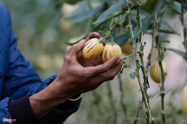 Dưa khi đến độ thu hoạch có màu vàng nhạt, mỗi quả trọng lượng 200-300 gram, da căng mọng.