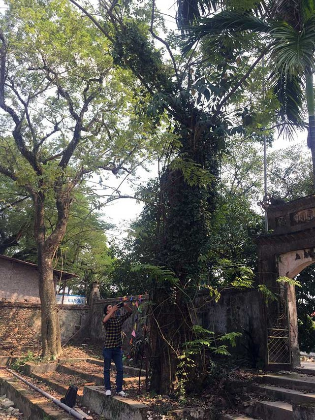 Cây sưa nằm gần cổng chùa làng Phụ Chính, xã Hòa Chính, Chương Mỹ có tuổi đời trên 130 năm. Ảnh: PV