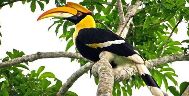 Hồng Hoàng là loài chim đặc biệt quý hiếm. Ảnh: TL