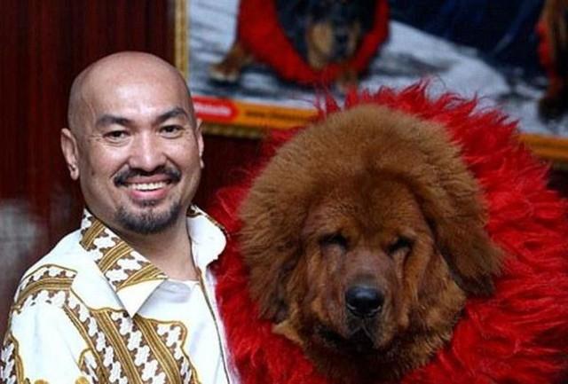 Chó ngao Tây Tạng từng có một thời kỳ hoàng kim khi được giới nuôi chó vô cùng ưa thích.