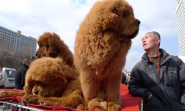Trong những ngày thị trường đảo điên, những con ngao Tạng con thuần chủng, dáng đẹp có thể được bán với giá lên tới $200.000 (4,5 tỉ đồng theo tỉ giá hiện tại).