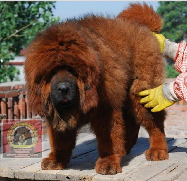 Chú chó Ngao Tây Tạng khổng lồ với cái giá hơn 1 tỷ đồng.