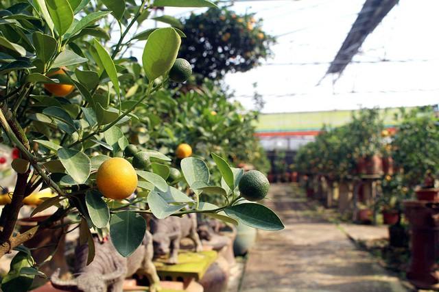 Để tránh tác động khi thời tiết xấu, nhiều nhà vườn đã lắp mái che để bảo vệ dàn quất bonsai. Phiếu tên của khách đã đặt hàng sẽ được chủ vườn treo trực tiếp trên cây để đánh dấu chủ quyền.