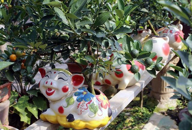 Giá của mỗi chú heo cõng quất bonsai dao động ở mức 2-5 triệu đồng.