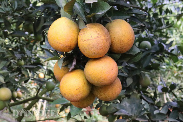 Vườn cam của ông Chất, cây nào cây nấy đều cho quả sai trĩu cành