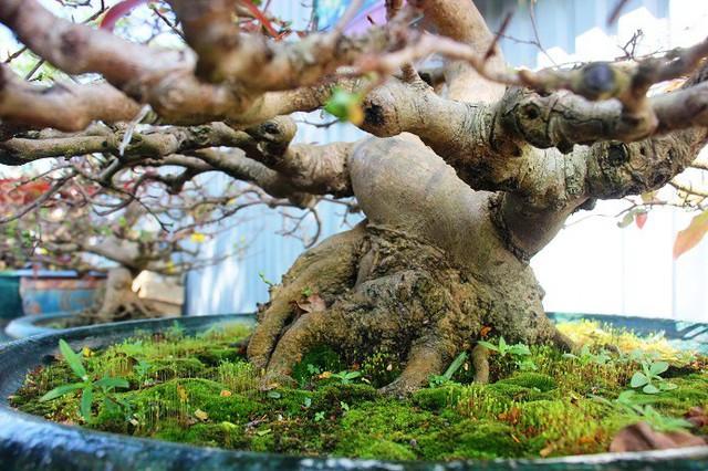 Gốc mai có tuổi đời hàng chục năm tuổi sần sùi, rêu phong