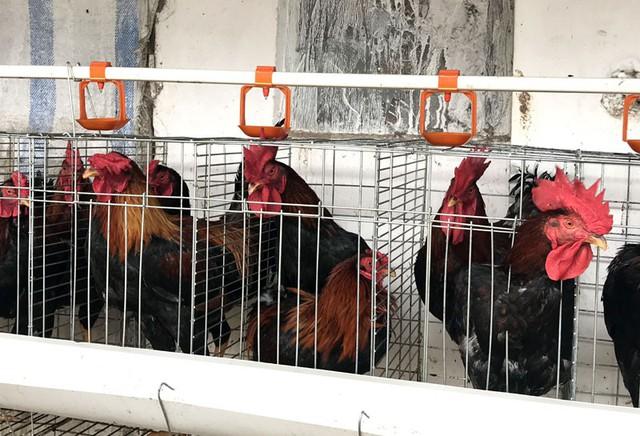 Đàn gà trống bố được nuôi tách biệt ở bên ngoài