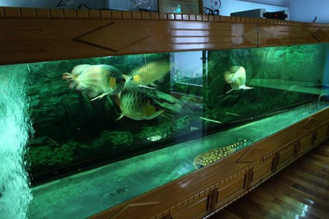 Thủy cung của năm chú huyết long tại nhà anh Chính Ngọc - một người chơi cá rồng nổi tiếng ở Hà Nội.