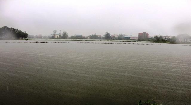 Nhiều diện tích lúa ở huyện Hưng Nguyên ngập nước.