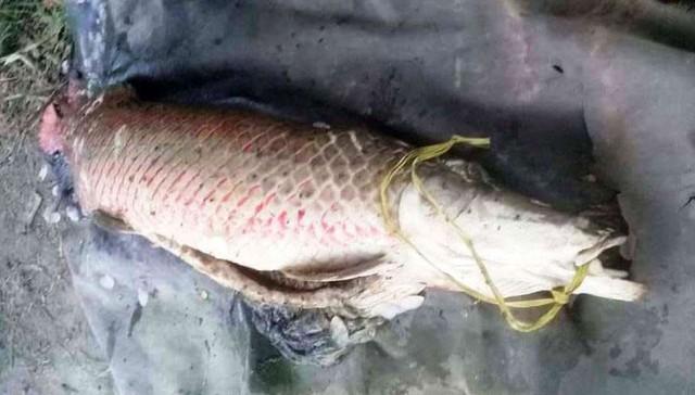 Con cá huyết rồng nặng 31kg sa lưới ngư dân.    Những con cá huyết rồng được cho là có nguồn gốc tại Biển Hồ - Xiêm Riệp trên đất bạn Campuchia.  Tại Việt Nam, thi thoảng ngư dân ở các tỉnh An Giang, Đồng Tháp thả lưới dính được những con cá huyết rồng nặng 2kg, 5kg... Cá biệt có những con nặng từ vài chục kg cũng mắc lưới. Nhưng lâu lâu mới có người câu được một con, giống cá này giờ hiếm lắm.  Huyền bí loài cá thiêng vảy đỏ như máu  Vào đầu năm 2013, anh Phạm Văn Dẽo (xã Phú Thành, huyện Phú Tân - An Giang), rong lúc chài trên sông gần nhà bắt được con cá có vảy to, màu đỏ rực, dài 1,8 m, cân nặng gần 70 kg. Sau đó, con cá này chết và được chuyển đến Chi cục Thủy sản tỉnh An Giang để nghiên cứu. Cơ quan chức năng xác định đây là cá huyết rồng.  Cá huyết rồng , còn có tên gọi là cá huyết long, có tên khoa học là Scleropages formosus, là một loài rất hiếm gặp. Đây loài cá quý có tên không chỉ trong Sách đỏ Việt Nam mà ngay cả Sách đỏ thế giới cũng ghi nhận.  Loài thủy ngư này có thân dài, uyển chuyển, đầu có đôi râu như rồng và toàn thân cá có lớp vảy đỏ như màu máu nên người xưa mới gọi cá huyết rồng.     Cá huyết rồng có thân dài, uyển chuyển, đầu có đôi râu như rồng và toàn thân cá có lớp vảy đỏ như màu máu.      Về hình dáng, cá huyết rồng tựa cá thác lác, thân mình dài hơn hai tay người dang thẳng, trọng lượng có khi đến cả trăm kg.  Tuy có trọng lượng khủng nhưng cá huyết rồng rất lành tính, chẳng bao giờ tấn công người: Cá huyết rồng sống ở độ sâu tối đa khoảng 5m, thường ẩn trong các lùm cây ngập nước, ăn rong rêu, cá nhỏ và sò, ốc... Nó là loài sống đơn độc và chỉ tung tăng vào mùa con nước lên. Khi nước lên, từ các rốn bảo tồn bất khả xâm nhập, cá huyết rồng nương theo dòng chảy, đi khắp nơi.  Nhờ hình dáng và thần thái sang trọng, quý phái khác biệt với các loại cá khác và nhờ vẻ đẹp lộng lẫy biểu hiện qua sắc đỏ lóng lánh kiêu kỳ đến huyền bí, cá huyết rồng rất được dân chơi cá cảnh ưa chuộng. Vì thế, giới chơi cá cảnh các nước châu Á như: Trung Quốc, Si