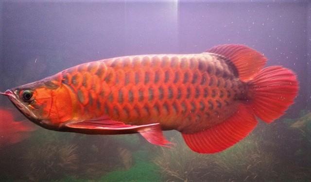 Cá rồng huyết long là loài đứng đầu trong dòng cá rồng về cả màu sắc cũng như giá trị.