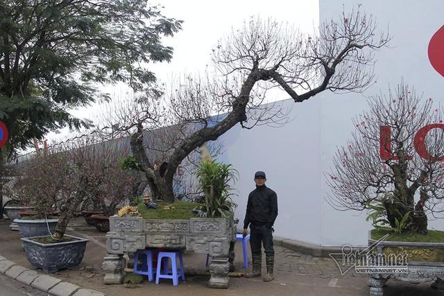 Cây đào khủng nổi bật trên đường Lạc Long Quân