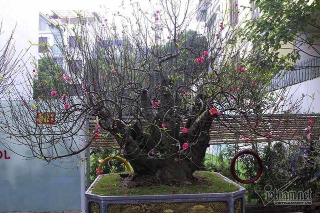 Một cây đào cổ thụ khác với hình dáng lạ mắt, đường kính gốc khoảng 80cm, được rao bán 80 triệu
