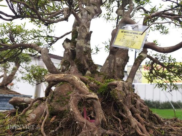 Các gốc đỗ quyên bonsai cổ thụ, thân rất khúc khuỷu...