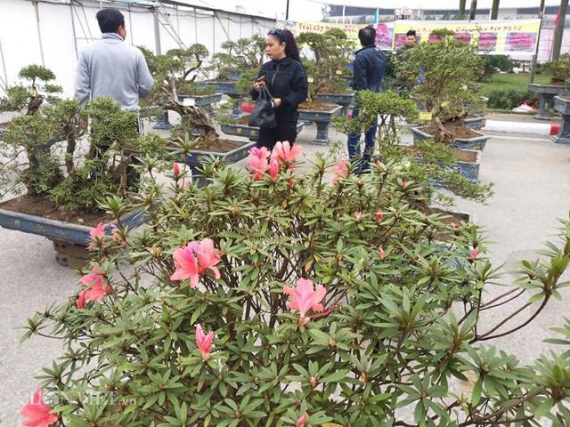 Dù mới đưa về giới thiệu tại chợ hoa ở Hà Nội, song gian hàng cây chưng Tết của ông Minh đã thu hút khá nhiều khách đến thăm quan, mua hàng.