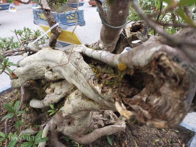 do quyen bonsai