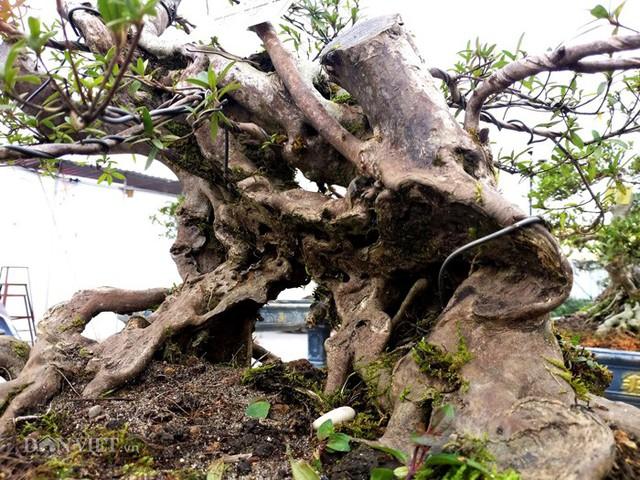 Các cây đỗ quyên cổ thụ, thân xù xì luôn được khách yêu cây săn đón.