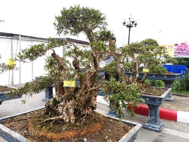 Một cây đỗ quyên cổ thụ có giá lên đến gần 900 triệu đồng của ông Minh.
