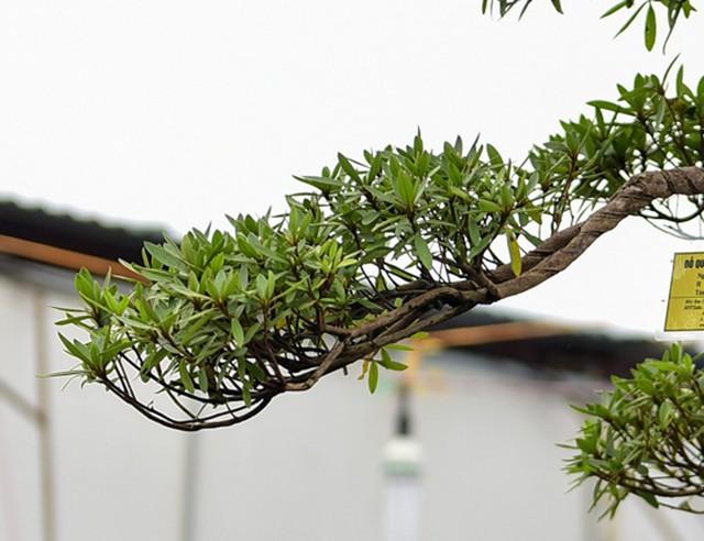Rất nhiều người tham quan vườn đỗ quyên đã dành không ít lời khen ngợi, tuy nhiên do giá trị cây quá cao nên nhiều người chỉ biết lắc đầu và cho rằng đây là loài cây chỉ dành cho giới nhà giàu.