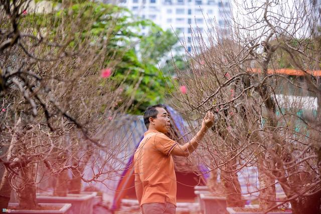 """Anh Thái Quang Sơn, người sở hữu 60 gốc đào, chia sẻ: """"Còn quá sớm nên cũng chưa thể biết được giá đào năm nay biến động như thế nào. Tôi cũng một phần nhìn khách để định giá đào""""."""