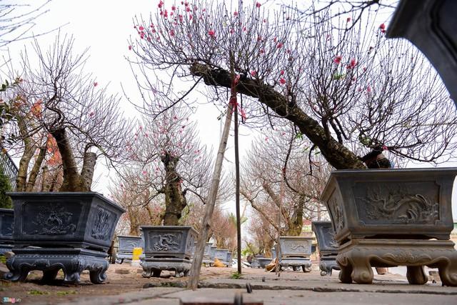 Những cây được tạo dáng lạ phải dùng giá đỡ để giữ dáng.