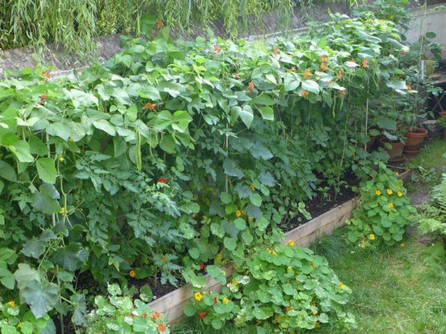 Tận dụng mảnh đất nhỏ sau nhà, người đàn ông đảm đang dù chân đi phải chống nạng vẫn trồng đủ loại rau quả sạch cho cả nhà thưởng thức - Ảnh 2.