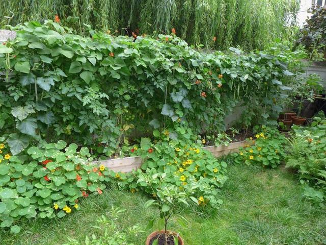 Tận dụng mảnh đất nhỏ sau nhà, người đàn ông đảm đang dù chân đi phải chống nạng vẫn trồng đủ loại rau quả sạch cho cả nhà thưởng thức - Ảnh 10.