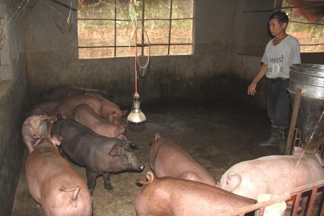 Số lợn chết của gia đình ông Dũng (thôn Xuyên Hử, xã Đông Xuyên) không bị bệnh dịch tả lợn châu Phi. Ảnh: Đ.Tùy