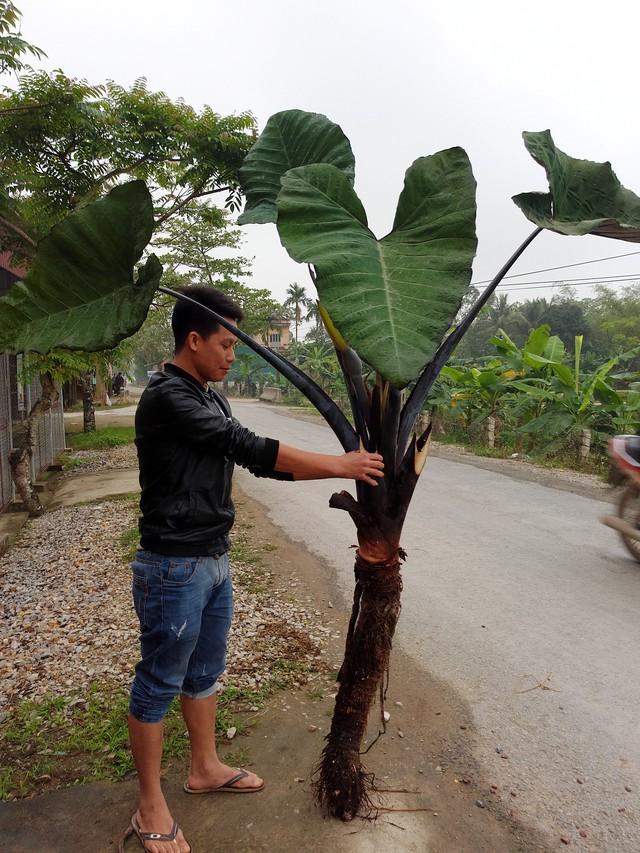 Một củ khoai có tổng chiều cao lên đến 2,5m.