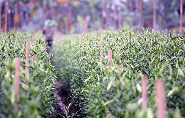 Bình thường loa kèn thường nở rộ vào giữa tháng 4 hàng năm, nhưng nông dân nơi này đã điều tiết cách chăm sóc để hoa nở sớm.