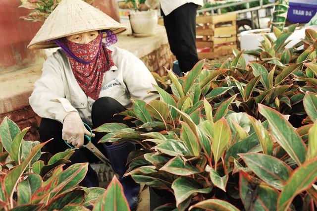 Thợ làm vườn cắt bỏ những lá vàng của cây Phú Quý.