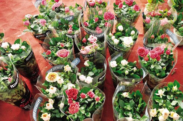 Những chậu hoa hồng được đóng gói sẵn để khách chỉ việc đem về trồng.