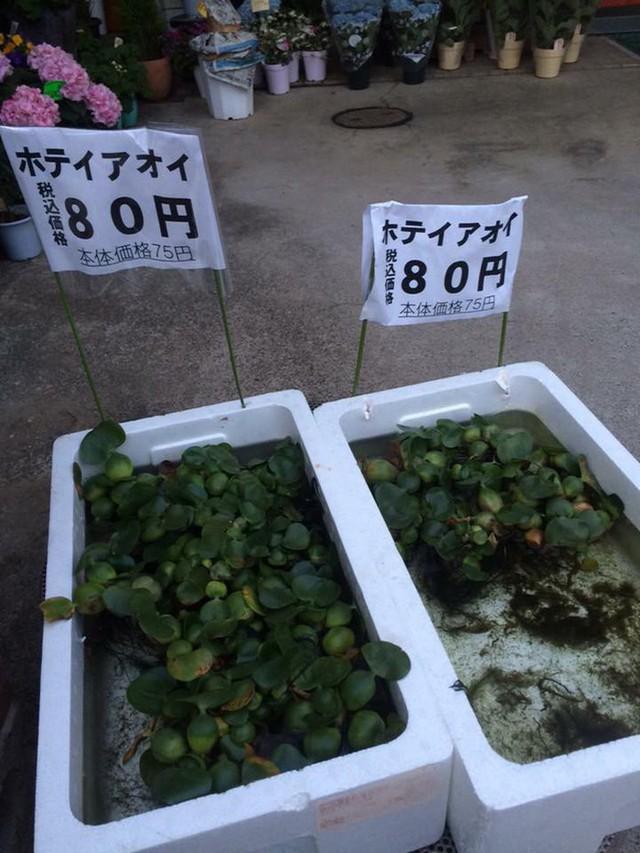 Cách đây không lâu, một người dùng xã hội đã chia sẻ hình ảnh được chụp tại một quầy bán bèo tại Nhật Bản. Theo đó, một chiếc lá bèo ở đây có giá lên tới 80 yên, tương đương khoảng 16.000 đồng.