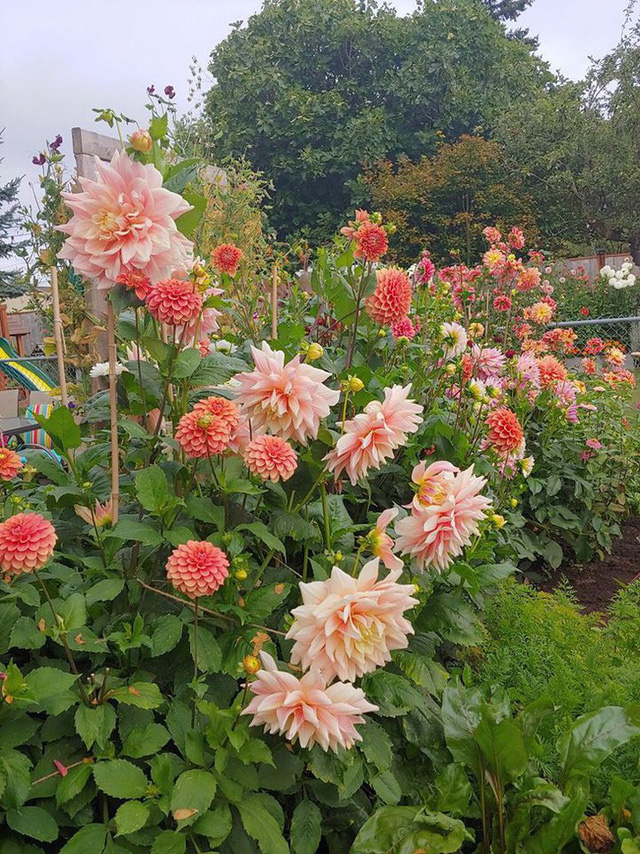 Khu vườn được chị Nicole trồng nhiều hoa.