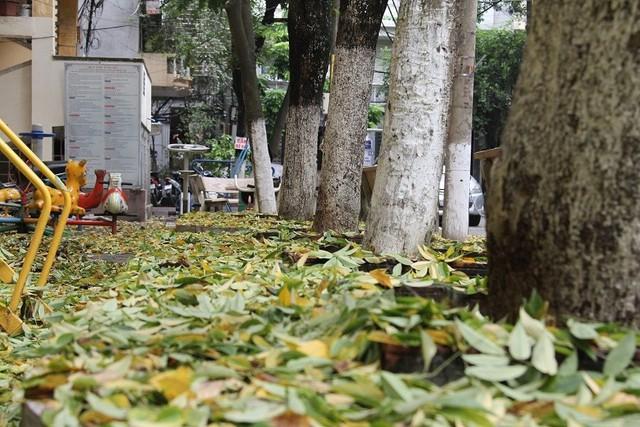 Hà Nội: Hàng sưa cổ thụ bất ngờ rụng lá, nghi bị đầu độc - Ảnh 4.