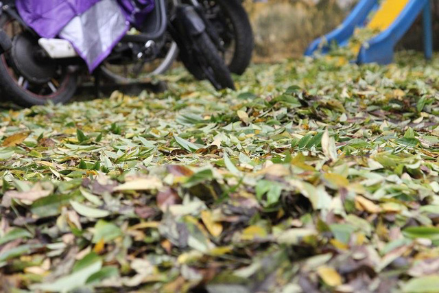 Hà Nội: Hàng sưa cổ thụ bất ngờ rụng lá, nghi bị đầu độc - Ảnh 2.