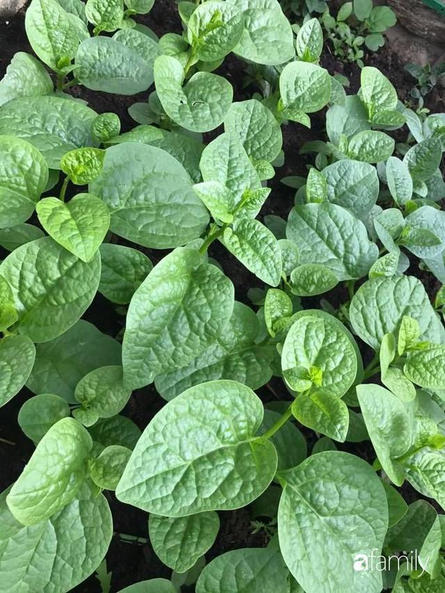 Mẹ đảm ở Czech cải tạo sân bê tông thành khu vườn với bạt ngàn rau củ quả Việt tươi tốt - Ảnh 28.