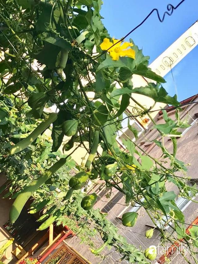 Mẹ đảm ở Czech cải tạo sân bê tông thành khu vườn với bạt ngàn rau củ quả Việt tươi tốt - Ảnh 8.