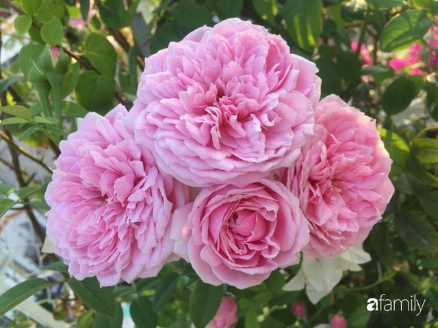 Khu vườn 30m² muôn hoa đua nở trên sân thượng của mẹ đảm thích mộng mơ ở TP. HCM - Ảnh 20.