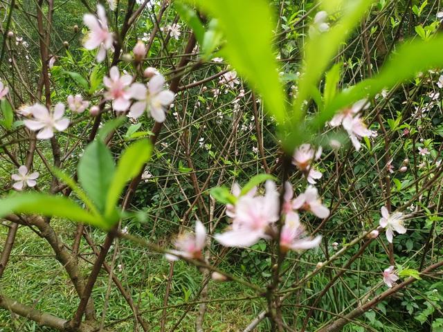 Hoa đào nở sớm, nông dân thấp thỏm lo mất Tết - Ảnh 2.