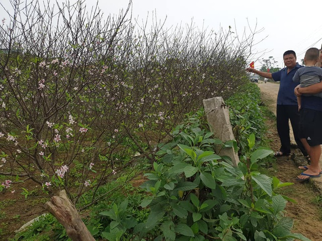 Hoa đào nở sớm, nông dân thấp thỏm lo mất Tết - Ảnh 3.